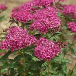 Spiraea japonica 'Neon Flash'